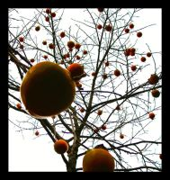 Persimmon by unflinching