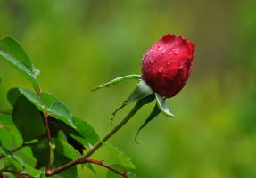 Rose bud in the rain by Tailgun2009