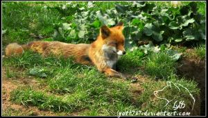 Relaxing fox by lyoth737
