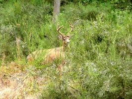 Another Mule Deer Buck IV by Track-Maidens