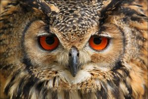 Indian Eagle-Owl. by Evey-Eyes