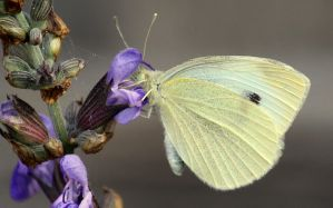 Cabbage moth and sage. by wolftraz