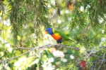 Rainbow Lorikeet in a Bottlebrush Tree by cmdesigna