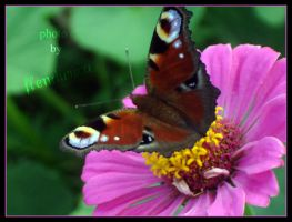 A beautiful butterfly by flendurica
