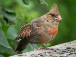 Baby cardinal is growing by Lou-in-Canada
