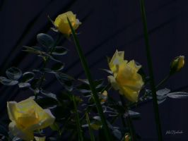 Yellow roses..... by gintautegitte69
