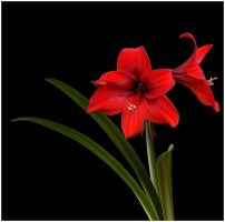 RED AMARYLLIS 4 by THOM-B-FOTO