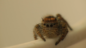Jumping Spider II by ExcellentAdventures