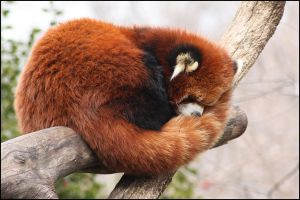 Sleepy Red Panda by vivadawolf