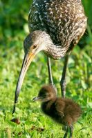 Limpkin Chick with Mom 1 by Kippenwolf