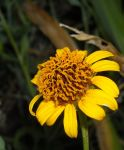 Helianthus ciliaris by GreyhoundRacer