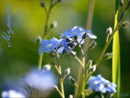Forget-me-not by Cassiopeeh