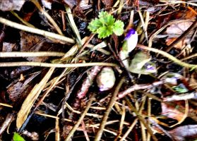 The First Spring Hepaticas Bursting Forth     by eskile
