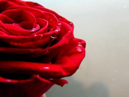 Red Rose with Droplets VI by Sakura-Koi