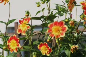 awesome dahlias and buds by ingeline-art