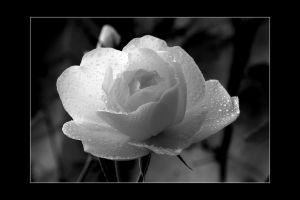 Just A Rose II by pjcvdpol