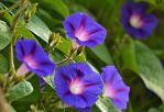 Morning Glory Blue Mauritius by SvitakovaEva