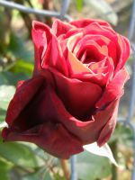 Red Rose by Zafer-Aistra
