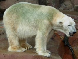 712 - polar bear by WolfC-Stock