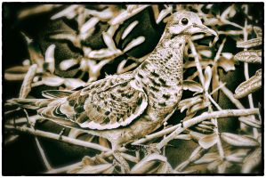 White Winged Dove Detail by clippercarrillo