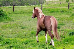 Sorrel Horse Stock by GloomWriter