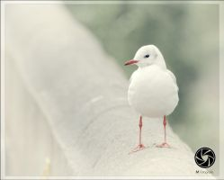 Blackheaded Gull by Mfotografie