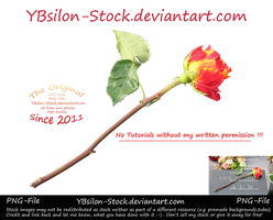 Red Yellow Rose by YBsilon-Stock by YBsilon-Stock