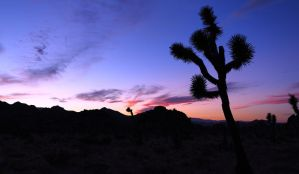 Joshua Tree by jorobins