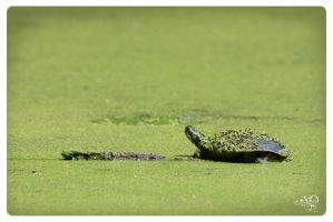 Turtle in green by AmirNasher