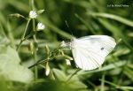 Grosser Kohlweissling / Large White 3 by bluesgrass