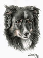 Border Collie Dooley by ArtsandDogs