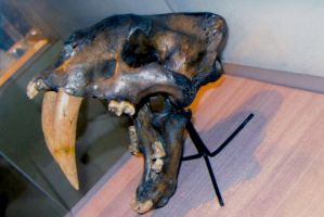 'Smilodon Skull' by TADASHI-STATION