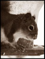 Small Red Squirrel by sej