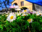 Daisies by cortomaltese219