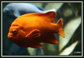 Garibaldi - an orange fish by eskimoblueboy