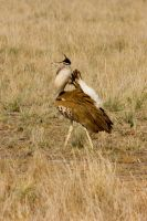 Kori Bustard Catwalking by DeviantTeddine