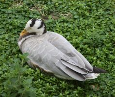 Bar Headed Goose by TwitchyTail