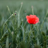 Field of Red by cleverless