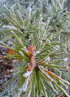 Snow Dusted Pine by CabelaOnly