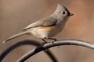 Tufted Titmouse 1 by bovey-photo