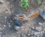 squirrel on dirt by terryrunion