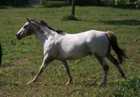 Appaloosa Canter .:Stock:. by Photopolis