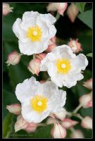 Wild Rose by AlexCphoto