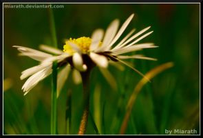 A Daisy Among All That Grass by Miarath