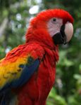 Scarlet Macaw 20D0024141 by Cristian-M