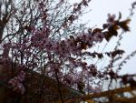 Plum Tree Spring 1 by LordNobleheart