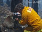 Koala Saved From Bush Fires by AussieSteve1961