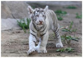 Little white tiger by Lilia73
