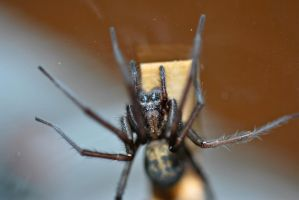 Wolf Spider by Whosle