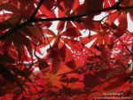 Red Leaves by wynnewong